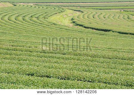 Landscape view of crowd tea bushes in tea plantations.