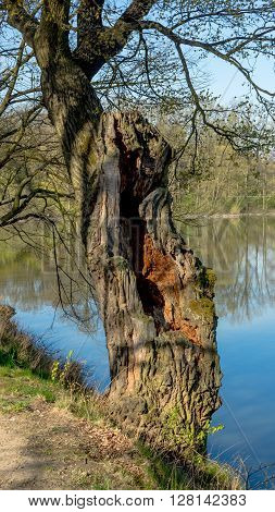 An old oak tree by the pond