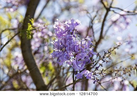 Close-up of Jacaranda tree in blooming with purple flowers in Haleakala National Park in Maui, Hawaii.