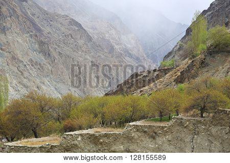 Himalayan oasis, apricot trees on terrace, Ladakh, Jammu & Kashmir, India