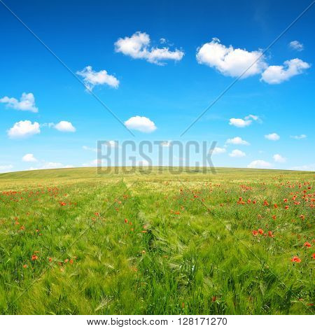 Spring landscape with red poppies in wheat field. Sunny day.