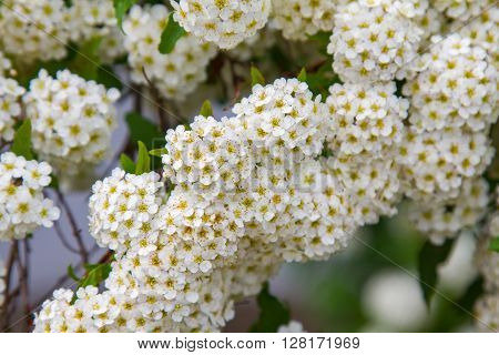 spring blooming guelder-rose shrub, round white flowers