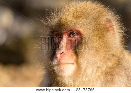 Snow monkey with thick fur