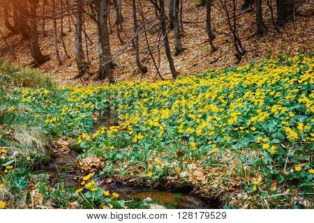 Fantastic carpet of yellow marsh marigold (Caltha palustris) glowing by sunlight. Dramatic scene and picturesque picture. Location place Carpathian, Ukraine, Europe. Beauty world. Soft filter effect.