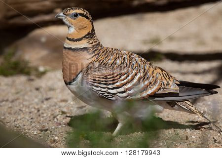 Pin-tailed sandgrouse (Pterocles alchata). Wild life animal.