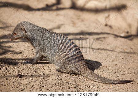 Banded mongoose (Mungos mungo). Wild life animal.