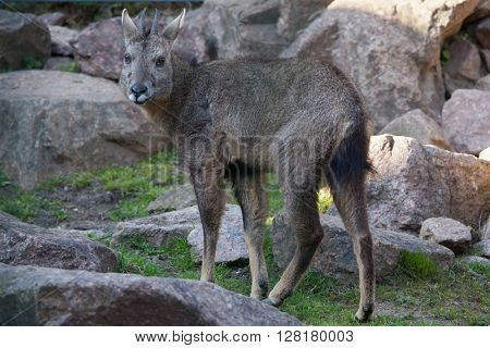 Chinese goral (Nemorhaedus griseus), also known as the grey long-tailed goral. Wild life animal.