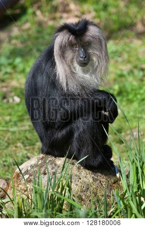 Lion-tailed macaque (Macaca silenus), also known as the wanderoo. Wild life animal.