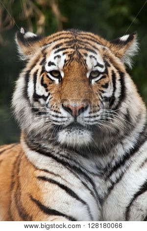 Siberian tiger (Panthera tigris altaica), also known as the Amur tiger. Wild life animal.