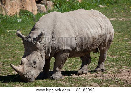 Southern white rhinoceros (Ceratotherium simum simum). Wild life animal.
