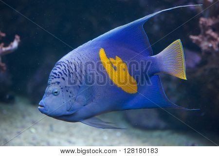Yellowband angelfish (Pomacanthus maculosus), also known as the halfmoon angelfish. Wild life animal.