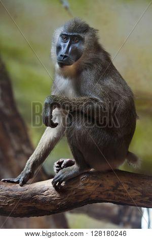 Drill monkey (Mandrillus leucophaeus). Wild life animal.