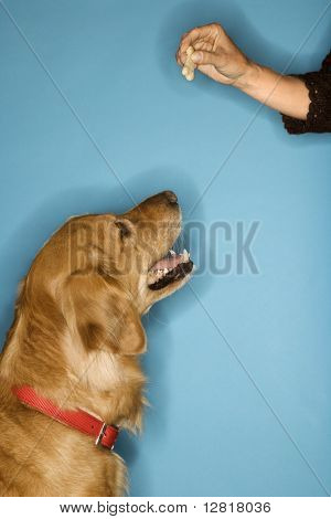 Golden Retriever dog looking at hand with treat.