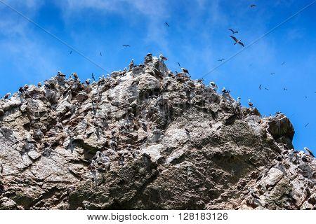 peruvian gannets on the rocks of Ballestas Islands