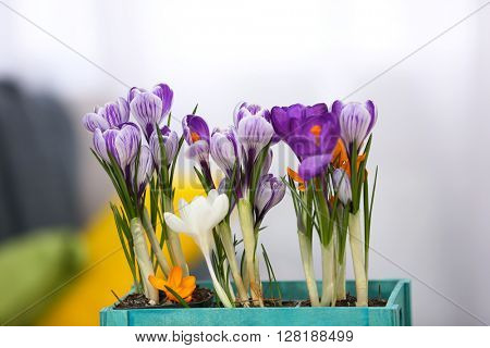 Beautiful crocus flowers on light blurred background