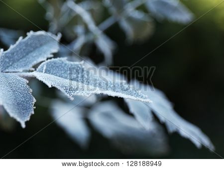 Frozen autumn leaves on blue blurred background