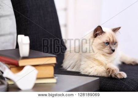 Color-point cat lying on black chair in living room, close up