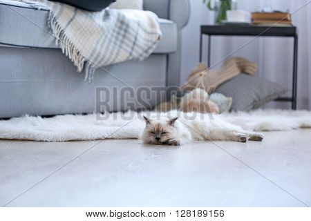 Color-point cat lying on a floor in living room