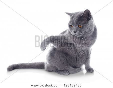 Short-hair grey cat isolated on white background