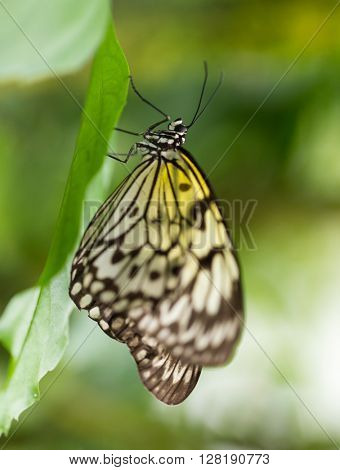 Paper kite (idea leuconoe) in primeval forest, close-up.