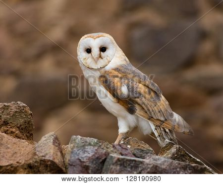 A Barn owl in old castle ruins in morning houres.