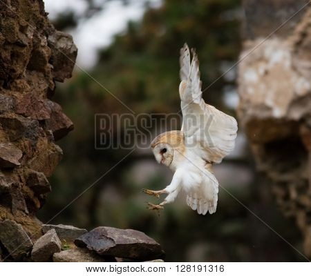 A Barn owl flying in old castle ruins in morning houres.