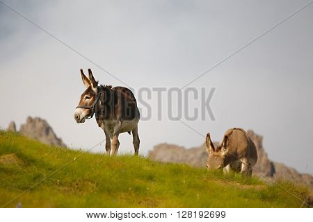 Grazing donkey on an alpine field