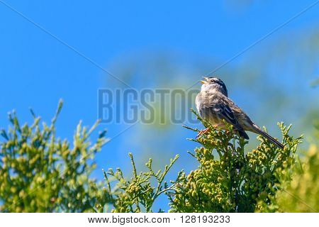 Yellow-rumped Flycatche
