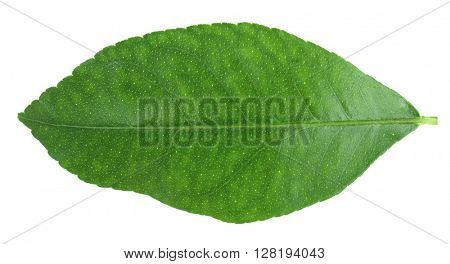 Green citrus leaf isolated on white