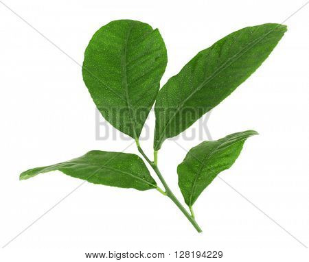 Green citrus leaves isolated on white