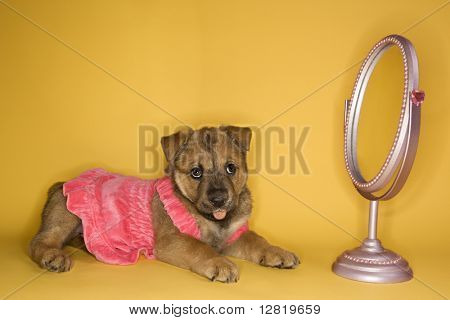 Puppy wearing dress in front of mirror.
