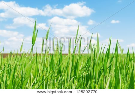 green grass in spring closeup. soft focus