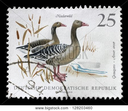 ZAGREB, CROATIA - SEPTEMBER 06: Stamp printed in GDR shows image of a Graylag Geese, series, circa 1968, on September 06, 2014, Zagreb, Croatia
