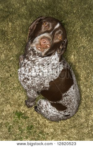 Above view of German Shorthaired Pointer in grass.