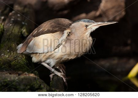 Little bittern (Ixobrychus minutus). Wild life animal.