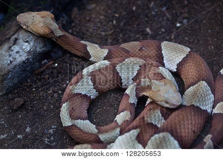 Copperhead (Agkistrodon contortrix). Wild life animal.