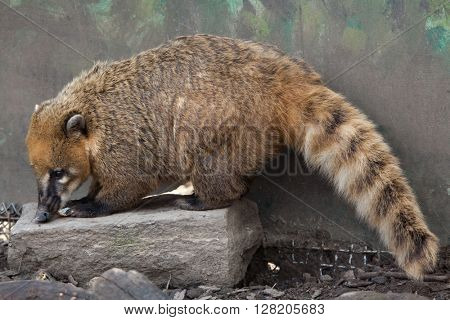South American coati (Nasua nasua), also known as the ring-tailed coati. Wild life animal.