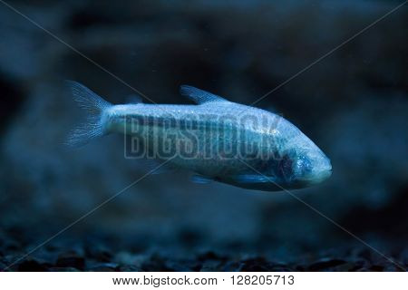 Mexican tetra (Astyanax mexicanus), also known as the blind cave fish. Wild life animal.