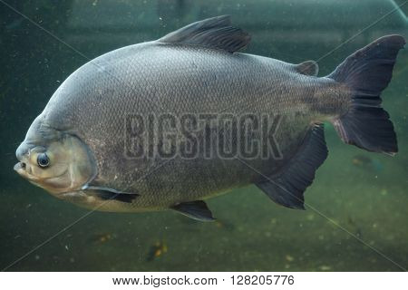 Tambaqui (Colossoma macropomum), also known as the giant pacu. Wild life animal.