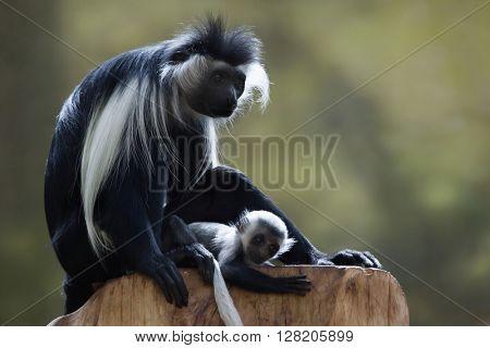 Angolan colobus (Colobus angolensis). Wild life animal.