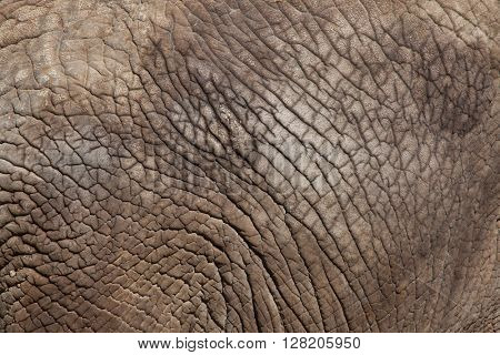 African bush elephant (Loxodonta africana). Skin texture. Wild life animal.