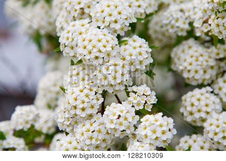 spring blooming guelder-rose shrub, round white flowers ** Note: Soft Focus at 100%, best at smaller sizes