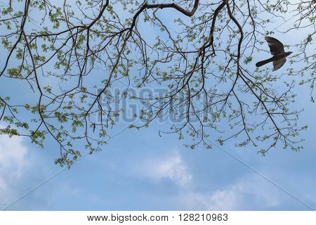 Branches of big Rain tree against blue sky with female Asian Koel cuckoo bird flying around in Thailand