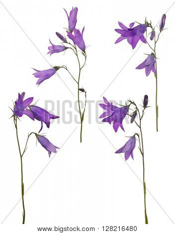 Spreading bellflowers isolated on white background