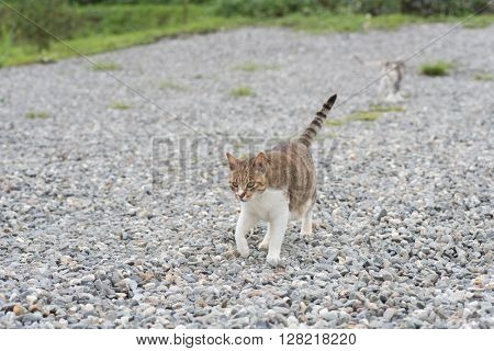 domestic cat walk in the outside