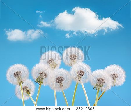 dandelion flower on cloud sky background, spring landscape concept