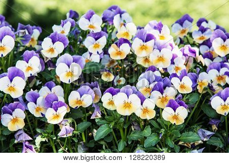Multicolored pansies in the garden. Beauty in nature. Seasonal natural scene. Close up photo. Beautiful flowers.