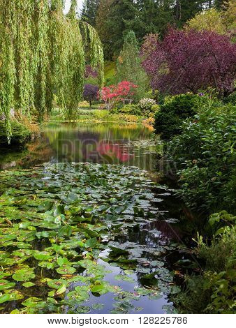 Quiet pond, overgrown with water lilies. Complex flower gardens on Vancouver Island, Canada