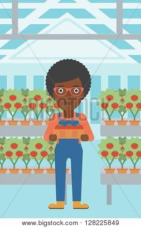 Farmer collecting tomatos.
