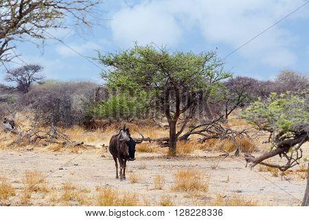 Wild Wildebeest Gnu In African Bush